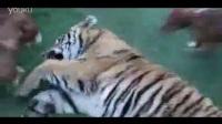 老虎咬人,俩猛犬护主,老虎被两狗给虐待、狂咬和暴打