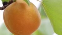 黄杏果园里金灿灿一片