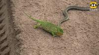 变色龙遭遇毒蛇, 瞬间变换多种颜色, 蛇不知怎么下口