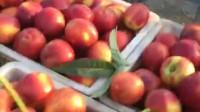 觅桃记500多亩的油桃熟啦,个头又大,颜色又好,味道也好。