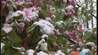 【拍客】实拍西安樱花在四月春雪中怒放