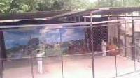 实拍郑州动物园老虎伤人