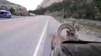 搞笑!愤怒的公羊大战丰田车