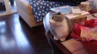 小猫玩逗猫棒MVI_0128