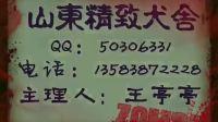 山东精致犬舍-53天松狮宝宝精彩录制(黑妞的娃)