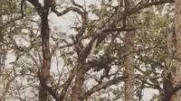 老虎爬树追杀花豹!豹子:你能上来吗?虎子:稍微有点太高了...