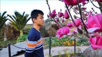 春天来了,奥克兰植物园里盛开的玉兰花