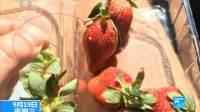 澳大利亚:草莓藏针 亲历者讲述恐怖经历 180919