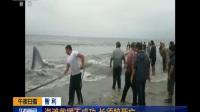 智利:海滩救援不成功 长须鲸死亡
