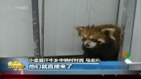 四川:村民发现野生小熊猫
