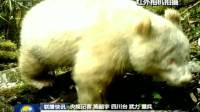 联播快讯:四川卧龙拍摄到全球首例白色大熊猫