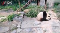 北京动物园大熊猫两度被砸