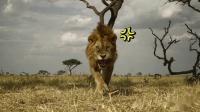 为《狮子王》脑洞大开:如果辛巴出生在塞伦盖蒂