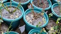 伊芙月季花园积水严重 2019.10-12月份78天大旱   现在一直大涝   可怜我的大红伯爵和卡勒姆很多花苞2020.1.26 肺炎严重  种5盆鱼腥草