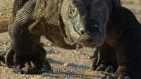 我在科莫多巨蜥一招致命猎杀水牛 黑冠猕猴自拍技巧堪比网红截了一段小视频