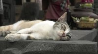 巴厘岛的人们都喜爱猫咪,喵喵被称为神的使者