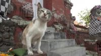 人们带着贡品到寺庙祈福,结果竟然被猫咪吃了