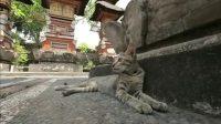 巴厘岛的猫咪,自然地融入了人们的生活当中