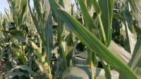 美达108.   玉米种社旗