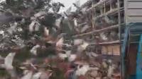 安徽省阳光森林赛鸽中心480公里决赛