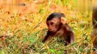 小猴儿刚出生第一天,皱巴巴的小老头