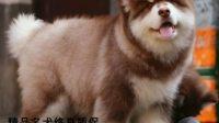 最大的阿拉斯加犬图片 一只纯种阿拉斯加犬多少钱一只 巨型犬 宠物狗