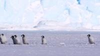 最惨的单身企鹅