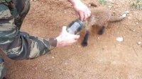 小狐狸头部被卡瓶内 向人类求救