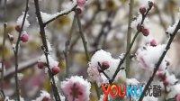 [拍客]实拍河南降雪红梅迎春花雪中绽放争春