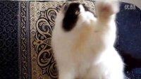 黑白梵色波斯猫(PER)  男孩 新家长拍摄