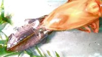 ELMO 艾路摩展台的精彩视频: 田鳖(大水虫)脱皮记录 间歇录制(1次1秒)