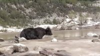 20120529西藏林芝米堆冰川之四(牦牛涉水)