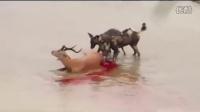 鬣狗与非洲野犬水中活吃高角羚