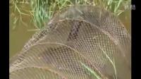 渔民捕鱼网到巨型眼镜王蛇 之前的捕到的鱼都没了