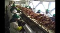 渔船回港,阿拉斯加帝王蟹直接进入流水线