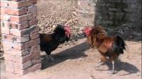 斗鸡:【红羽剑】征战【黒武】巢穴!勇敢的心!