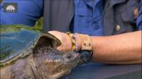 【原种佛鳄龟】土狼彼得森疯狂实验 佛鳄龟的咬合力/原版超清1080P