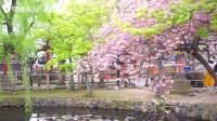 日本樱花太美了,为了这个你会去吗?