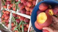 觅桃记果园都是精品油桃,欢迎采购商前来洽谈