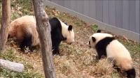 """大熊猫""""贝贝""""秀下树神技,引得美国人一阵欢呼"""