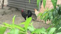 斗鸡:买给儿子的宠物【黑拳】PK【小黑黄】