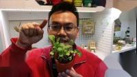 我愛香草:尼克教您認識芝麻菜Rocket與它的基本栽培照顧須知 How to grow Rocket Salad [720p]