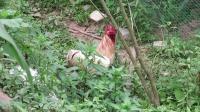 斗鸡:土鸡内战过后