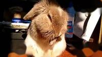 可爱的小兔子-
