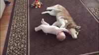 别人家的哈士奇与宝宝愉快的玩耍,治愈系二哈搞笑视频
