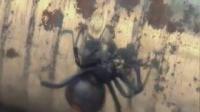 澳洲红背蜘蛛的秘密