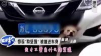 女司机开车撞上狗,开了400公里才发现