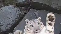 雪豹真的很容易被吓飞!雪豹Jessie被摄像头吓飞