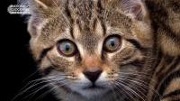苏格兰野猫,全球大约只有35只。