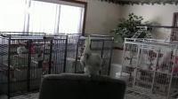 聪明的鹦鹉,跟着节奏舞蹈